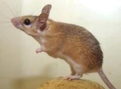 el paso mice
