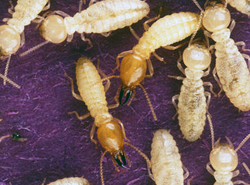 el paso termites